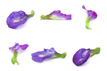 Beautiful Flower, Set of  Purple Butterfly Pea Flowers or Asian Pigeonwings Flowers Isolated on White Background 版權商用圖片