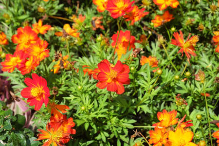 Bright and Beautiful Red and Orange Cosmos Flowers or Cosmos Bipinnatus for Garden Decoration. Stock Photo