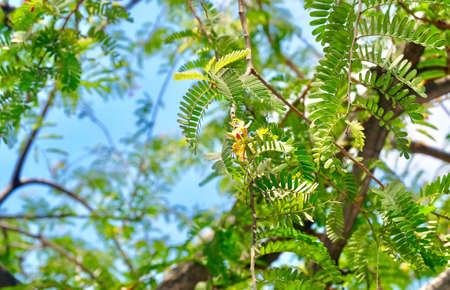 Fresh Fruits, Fresh Blossoms of Tamarind and Green Leaves Hanging on Tree Branch.