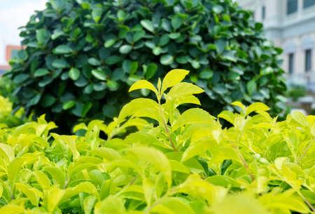 Duranta Erecta, Golden Dewdrop, Pigeon Berry, Skyflower, Mavaetangi, Xcambocoche Plants. A Plant for Garden Decoration.