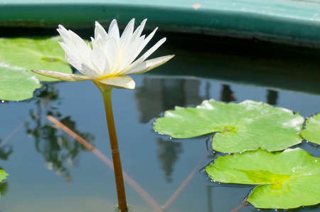 Beautiful Flower, The Bright and Beautiful of A Whtie Water Lily or Lotus Flower and Leaves. Stock Photo