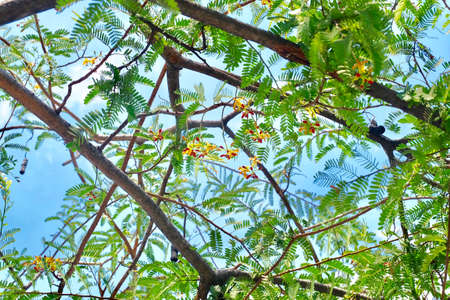 Fresh Fruits, Fresh Blossoms with Brown Ripening Pods of Tamarind and Green Leaves Hanging on Tree Branch
