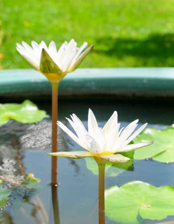 Beautiful Flower, The Bright and Beautiful of Whtie Water Lilies or Lotus Flowers and Leaves.