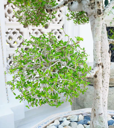 Houseplant, Fresh Green Beautiful Streblus Asper or Siamese Rough Bush Bonsai Tree in A Flowerpot for Garden Decoration.