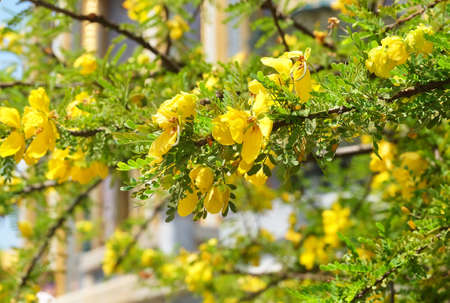 Close Up of Fresh Senna Auriculata, Matura Tea Tree, Ranawara or Svaram Flowers on Tree Branches.