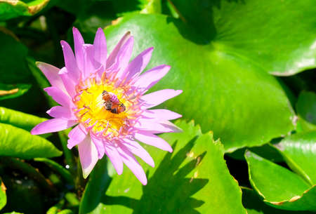 Beautiful Flower, The Bright and Beautiful of A Pink Water Lily or Lotus Flower with Honey Bees.
