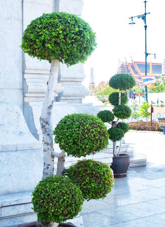 Fresh Green Beautiful Streblus Asper or Siamese Rough Bush Bonsai Tree in City Pillar Shrine or San Lak Mueang at Bangkok, Thailand. Stock Photo