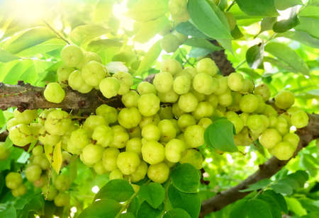 Bunch of Fresh Star Gooseberries With Stem and Green Leaves Hanging on Tree Branch. 스톡 콘텐츠