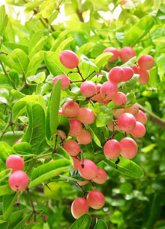 Fresh Fruits,  Ripe and Delicious Karanda Carissa Carandas L Fruits with Green Leaf on Plant. 스톡 콘텐츠