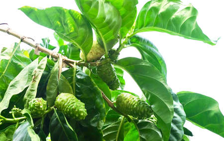 Vegetable and Herb, Fresh Noni, Morinda Citrifolia, Great Morinda, Indian Mulberry, Beach Mulberry or Cheese Fruits with Green Leaves on A Branch. High in Polysaccharide, Vitamin A, C and Calcium. Фото со стока - 129827930