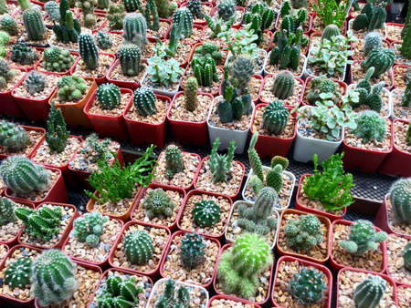 Assorted Beautiful Cactus Plants in Flower Shop for Garden Decoration. 写真素材