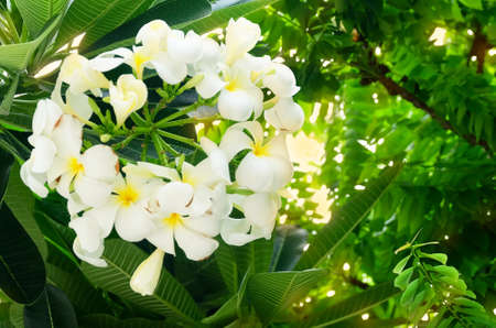 The Beautiful White Tropical Plumeria Frangipani Flowers with Green Leaves on Tree.