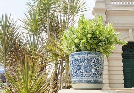Beautiful Euphorbia Tithymaloides or Redbird Cactus Plants in A Flower Pot Stok Fotoğraf