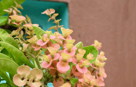 Beautiful Flower, Bunch of Fresh Red Crown of Thorn or Euphorbia Milii Flowers with Green Leaves on Tree.