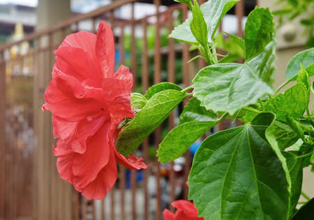 Beautiful Flower, A Fresh Red Hibiscus or Bunga Raya Flowers on Green Leaves Blooming in Green Garden. Stok Fotoğraf