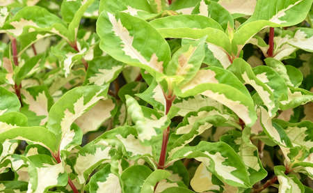 Caricature or Graptophyllum Pictum Plants with Green and White Leaves for Garden Decoration.