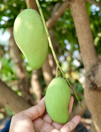 Hand Holding Bunch of Young Mangoes on Tree Branch.