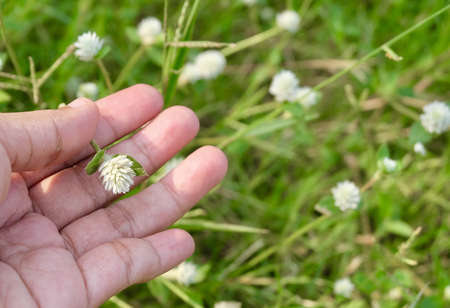 Hand Holding White Gomphrena Celosioides