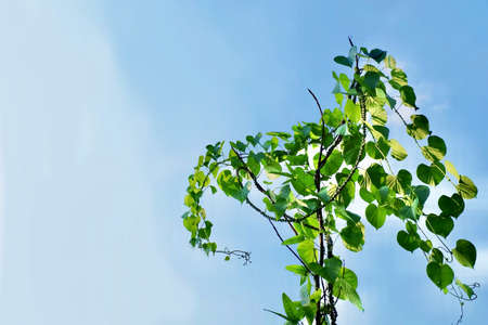 Vegetable and Herb, Tinospora Cordifolia, Guduchi, Giloy or Heart Leaved Moonseed Plant Against on Blue Sky. Use in Traditional Medicine to Treat Various Diseases. 免版税图像