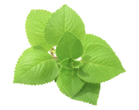 Vegetable and Herb, Bunch of Cuban Oregano or Indian Borage, Oreille or Plectranthus Amboinicus Leaves Isolated on White Background, Used for Seasoning in Cooking.