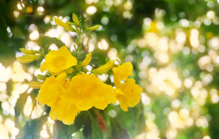 Beautiful Flower, Fresh Tecoma Stans, Yellow Trumpetbush, Bells, Elder, Ginger Thomas Blooming with Green Leaves on The Plant in A Morning Shine. Stock Photo