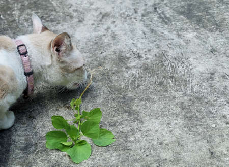 Cat Eating The Root of Indian Acalypha, Three Seeded Mercury or Indian Nettle Seeds. The Root Being Attractive to Domestic Cats Similar to Catnip.