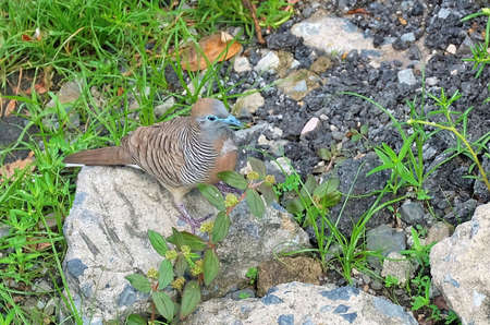Animal and Wildlife, Brownish Grey with Black and White Barring Zebra Dove, Geopelia Striata Bird or Barred Ground Dove Standing on The Rock. Stock Photo