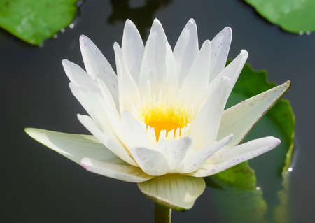Beautiful Flower, The Bright and Beautiful of A White Water Lily or Lotus Flower and Leaves.