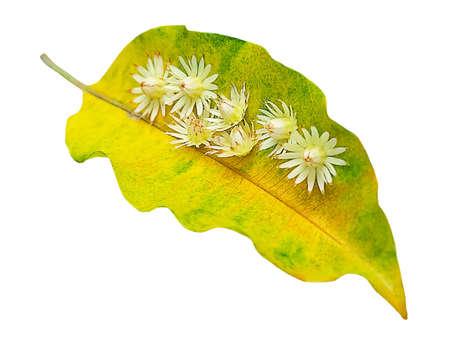 Beautiful Flower, Aromatic Mimusops Elengi, Spanish Cherry, Medlar, Bullet Wood or Bokul Flowers on Yellow Leaf Isolated on White Background.