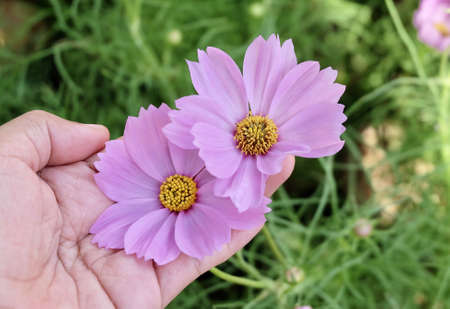 Hand Holding Bright and Beautiful Pink Cosmos Flowers or Cosmos Bipinnatus for Taking Care A Garden.