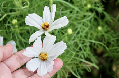 Hand Holding Bright and Beautiful White Cosmos Flowers or Cosmos Bipinnatus for Taking Care A Garden.