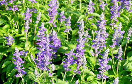 Beautiful Flower, Purple Sage Flowers or Salvia Flowers with Green Leaves in The Garden.