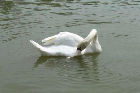 at white: White Swan