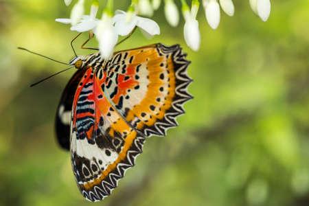 giant sunflower: Orange-Black Butterfly