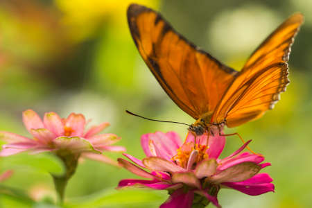 giant sunflower: Orange Butterfly