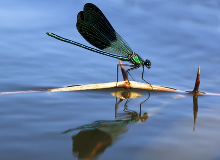 anisoptera: dragonfly sailing in a stick Stock Photo