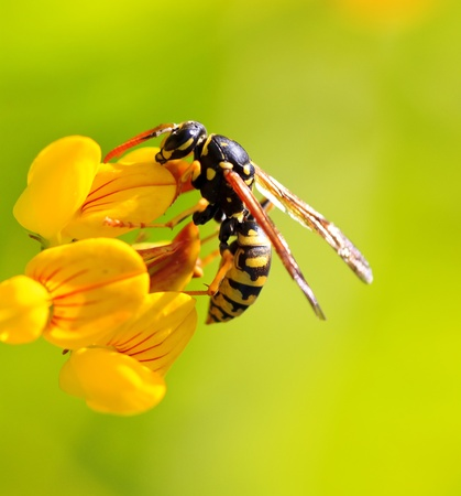 a wasp in a yellow flower Stock Photo - 10286146