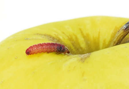 a red caterpillar in a yellow apple photo
