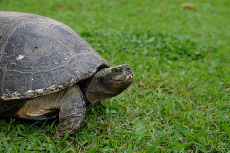 Big turtle on the green grass Stock Photo