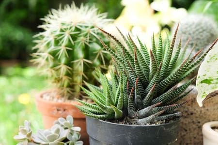 Small plant in pot, succulents or cactus Stock Photo