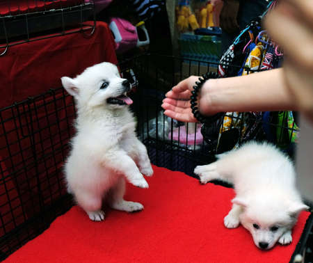 Hands woman playing little spitz for sell in dog cage.
