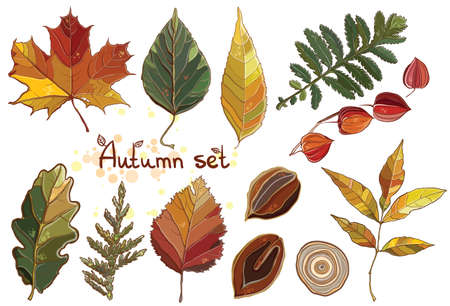 rings on a tree: Vector set with autumn set leaves, nuts, tree. Thuja; aspen; physalis; alder; elm; willow; maple; oak; Potentilla. eps 10