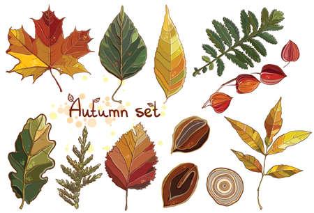alder: Vector set with autumn set leaves, nuts, tree. Thuja; aspen; physalis; alder; elm; willow; maple; oak; Potentilla. eps 10