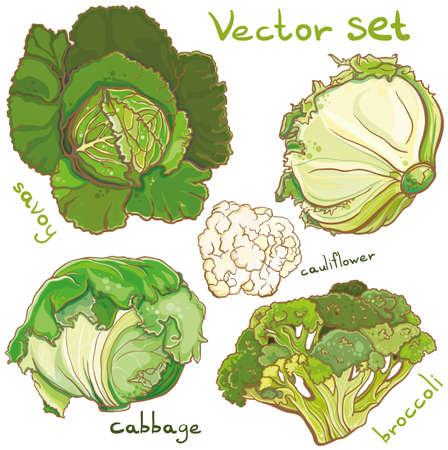 head of cauliflower: Colorful Vector illustration of bright fresh cabbage, broccoli, cauliflower, savoy. Isolated.