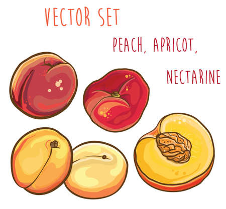 Vector bright illustration of peach, apricot, nectarine. Isolated. Vector fruit set. eps 10