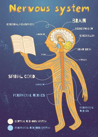 아이들을위한 인간의 신경계. 벡터 컬러 만화 그림. 인간의 중추 및 말초 신경계의 해부학 방식.