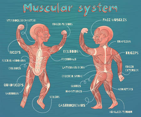 MUSCULAR SYSTEM: Human muscular system for kids. Vector color cartoon illustration. Human muscles scheme.