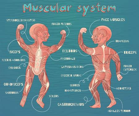 musculoso: sistema muscular humano para los niños. Vector ilustración de color de dibujos animados. esquema de los músculos humanos. Vectores