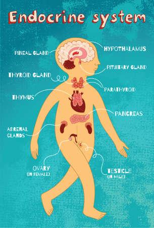 sistema endocrino humano para los niños. Vector ilustración de color de dibujos animados. esquema de la anatomía humana.