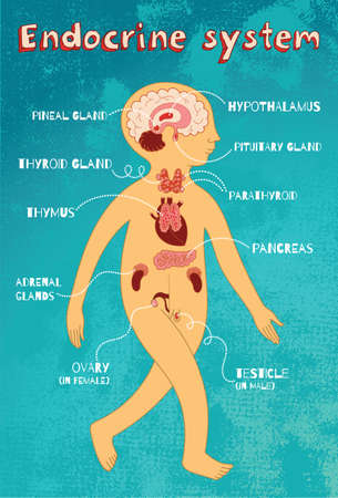 anatomia: sistema endocrino humano para los niños. Vector ilustración de color de dibujos animados. esquema de la anatomía humana.